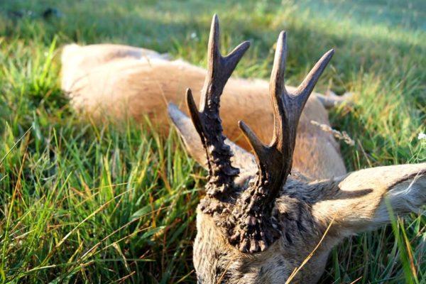 Free-Range-Roe-Deer-Hunting-In-Poland